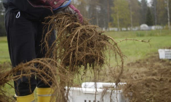 Väinönputken viljely