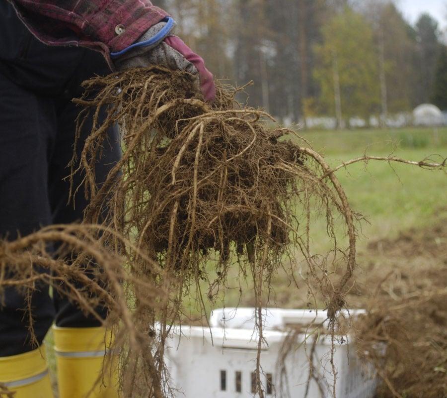 Väinönputken viljely ja juuret