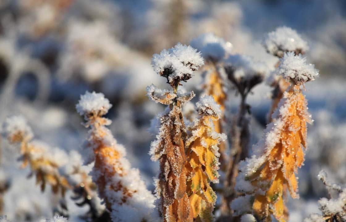 Ruusujuuri talvehtiminen