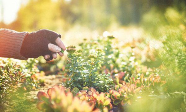 Ruusujuuri, viljely vai villi?